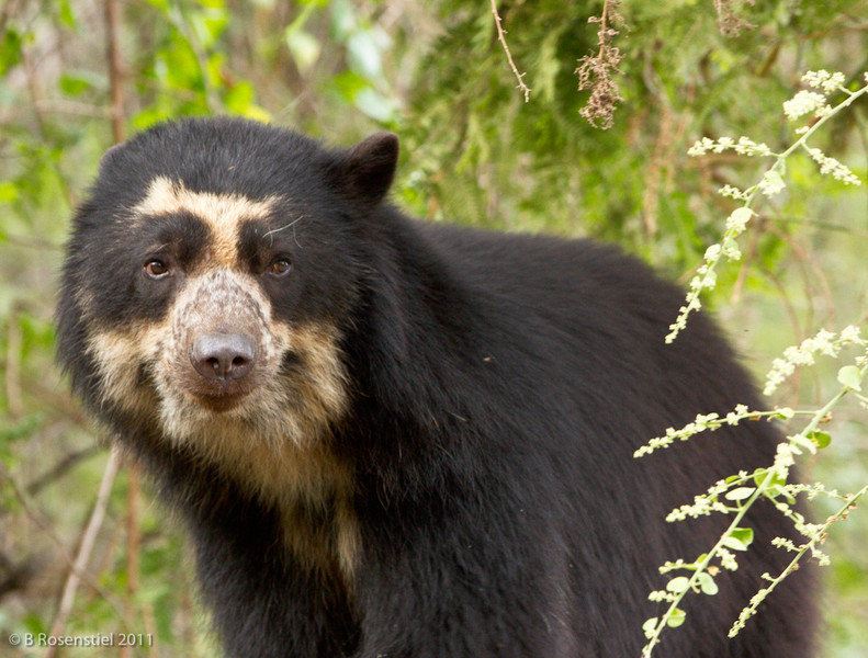 Spectacled Bear<br /> Chaparri Ecological Region, Peru, 2011