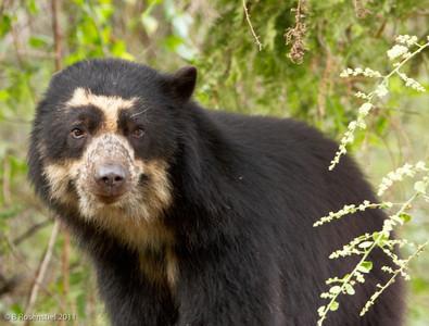 Spectacled Bear Chaparri Ecological Region, Peru, 2011