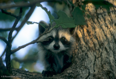 Young Raccoon Grapevine, TX, 2004