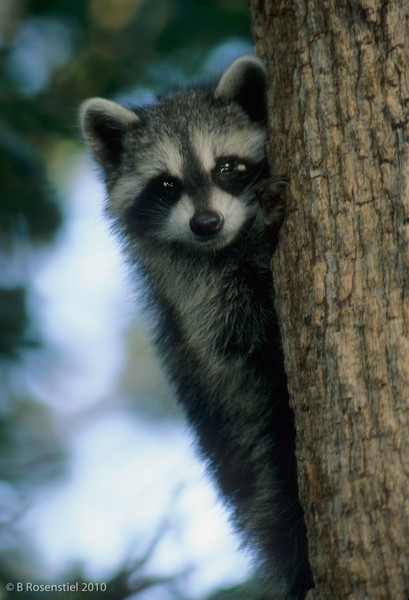 Young Raccoon<br /> Grapevine, TX, 2004