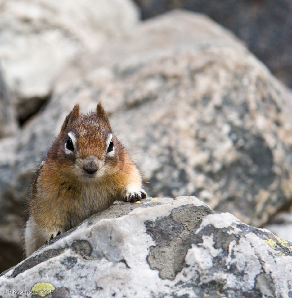 Golden-Mantled Squirrel, Lake Louise, Banff NP, Alberta, Canada, 2006