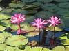 Water Lillies<br /> Papeete, Tahiti, French Polynesia 2005