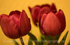 Tulips for Christy<br /> 2007