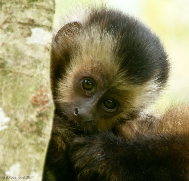 Tufted Capuchin Monkey<br /> Cock-of-the-Rock Lodge, Manu, Peru, 2011