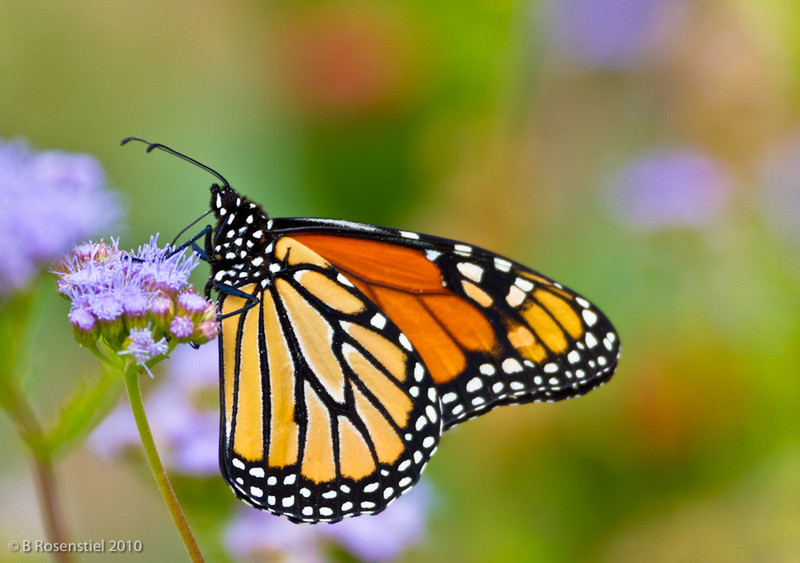 Monarch on Mist Flower<br /> Grapevine, TX, October, 2010