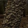 Millpond tree