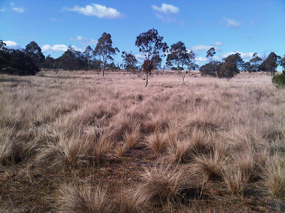 Typical tussock grass fuel in this area  - looking south