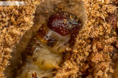 Bugs That Eat Trees Tree-eating Grub