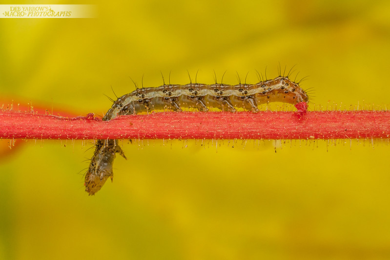 Caterpillar On Red