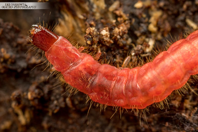 Red Beetle Larva