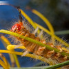 Caterpillar on Grevillea
