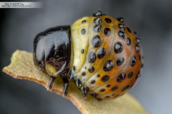 Beetle Baby