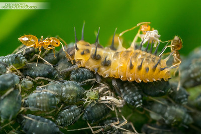 Beetle Larva, Aphids and Ants