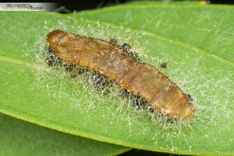 Caterpillar Parasites