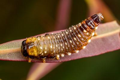 Beetle Grub