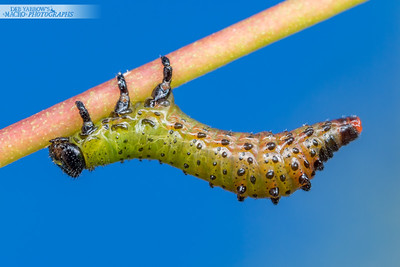 Spotted Sawfly Larva