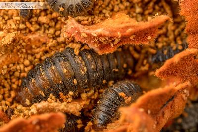 Fungus Larvae