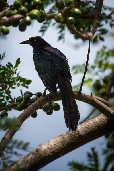 Great Tailed Grackle, Guatemala