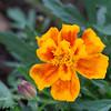 Guerillagarten: Studentenblume/Tagetes 1