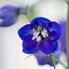 Guerillagarten: Ritterspornblüte Weiß-Blau