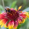 Guerillagarten: Bienenfutter Cocadenblume