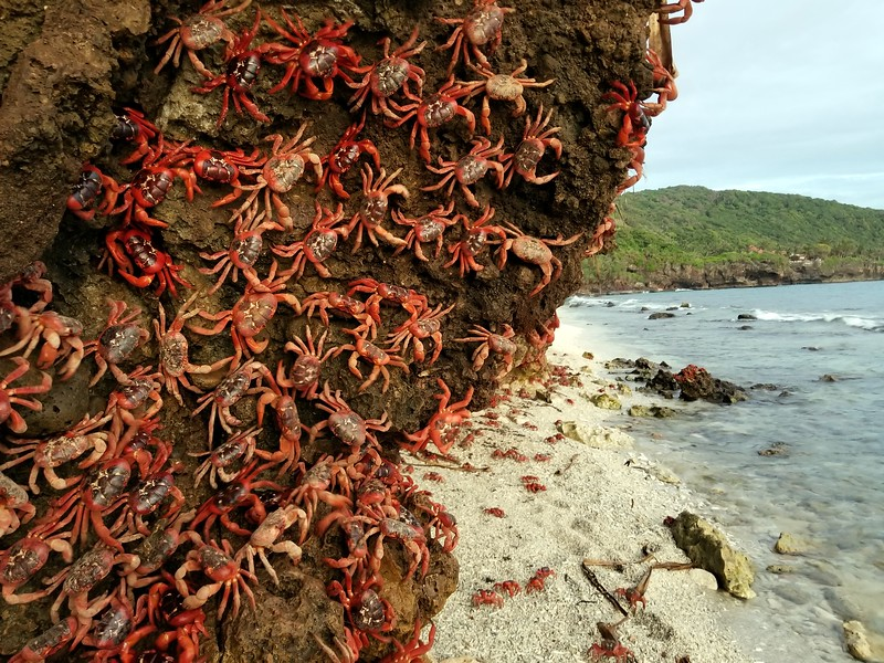 Crabs on Christmas Island. Image courtesy of Stefan Krasowski