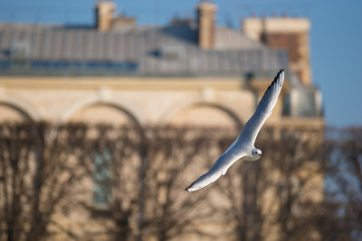 gull with louvre as background