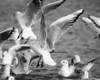gulls in 54 bw