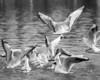 more 54 bw gulls