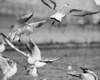 more 54 bw gulls 2