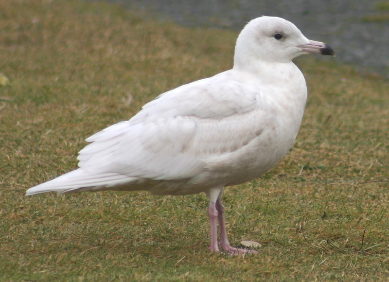 1st winter Glaucous Gull - January 10th