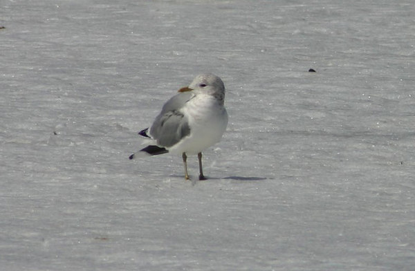 Mew(Common) Gull - March 29th