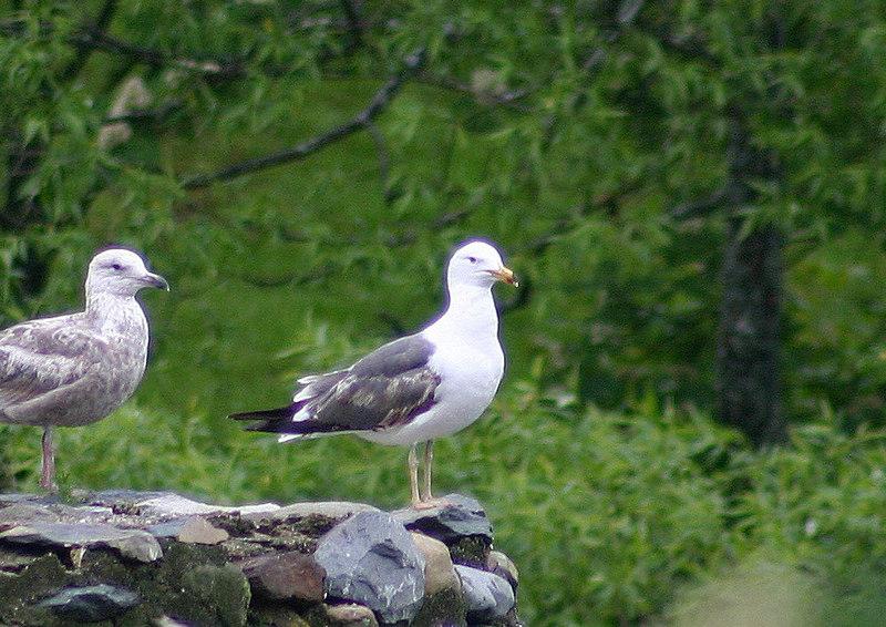 Lesser Black-backed Gull - June 11th
