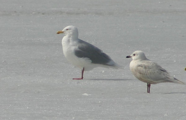 Glaucous/Iceland Gull - March 31st