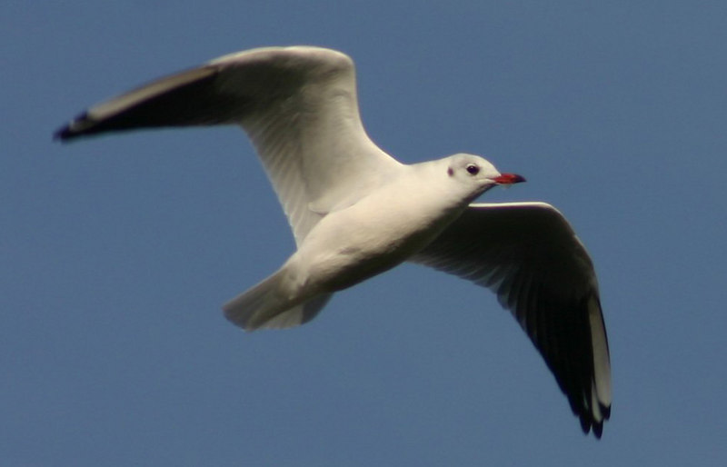 Black-headed Gull - September 12th