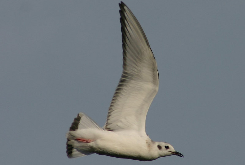 juv. Bonapartes Gull - September 12th