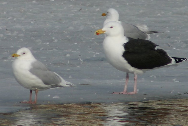 "Iceland ""kumliens""/ Great Black-backed Gulls - March 27th"