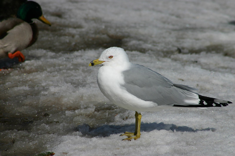 Ring-billed Gull - March 14th