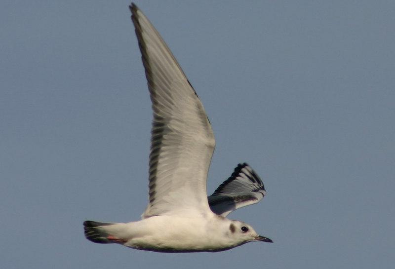 juv. Bonapartes Gull - September 12th