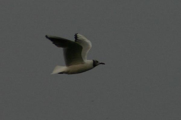 Black-headed Gull - August 29th