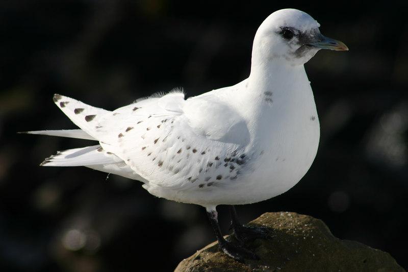 juv. Ivory Gull - February  1