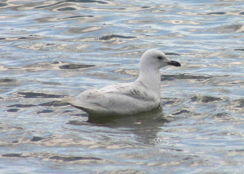 Iceland Gull - May 22