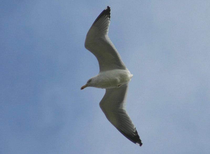 Herring Gull (No Tail) - February 25th