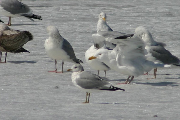 Mew (Common Gull) - March 29th