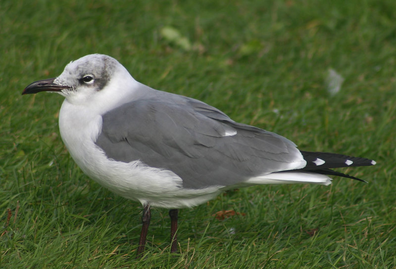 Laughing Gull - November 9th