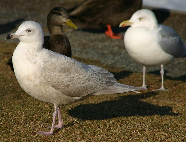 Iceland Gull - February 7th