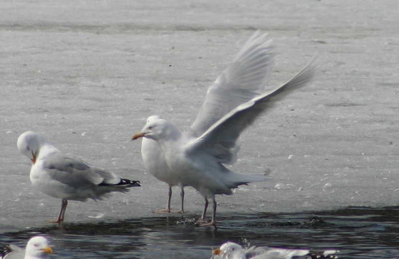 Glaucous Gull - March 31st