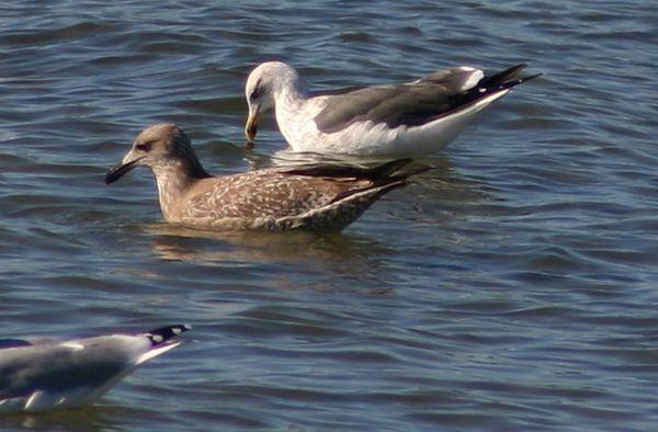 Gulls/terns
