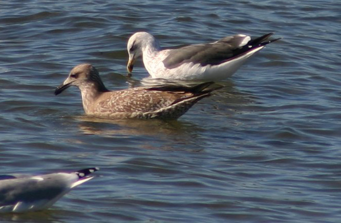 Lesser Black-backed Gull - October 1st