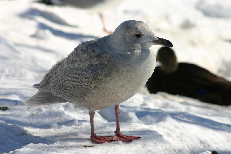 Iceland Gull - February 1